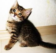 калифорнийская сияющая кошка  титулованных производителейот