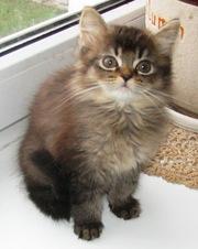 британские короткошерстные и длинношерстные котята