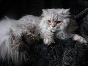 Вязка британских кошек Питомник британских кошек sunnybunny.by