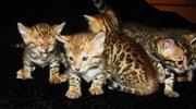 Бенгальские котята тут. Питомник бенгальских кошек  #sunnybunny.by