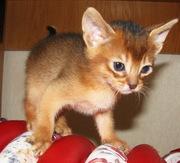 Абиссинские котята тут. Питомник абиссинских кошек #sunnybunny.by