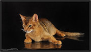 Абиссинские кот. Вязка .Питомник абиссинских кошек  sunnybunny.by