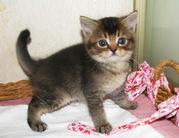 Британские котята уникальных окрасов Питомник британских кошек