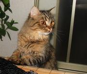Британские длинношерстные кошки (хайленд) невероятно редких окрасов