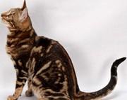 Бенгальские котята мраморного окраса от титулованных производителей