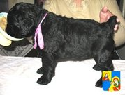Очаровательные щенки русского черного терьера